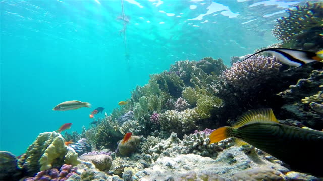 Colorful Fish On Vibrant Coral Reef, Static Scene, Red Sea video
