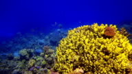 Colorful Fish over beautifull Coral Reef video