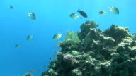 colorful fishes on reef dahab video