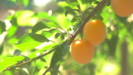 Colorful fruits on branch. video