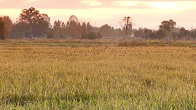 Colorful Golden rice video