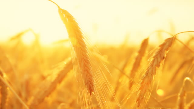 HD DOLLY: Colorful Golden Wheat video