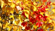 Colorful hawthorn video