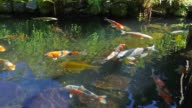 Colorful Koi Fish Swimming in Pond video