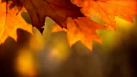 Colorful leaves on the wind, autumn season. Close up. video