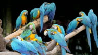 colorful macaws sitting in a tree video