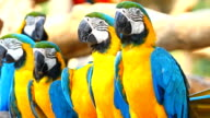 Colorful macaws video