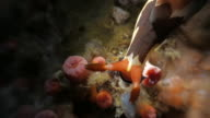 Colorful nudibranch moving undersea (4K) video