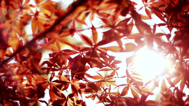 Colorful red autumn leaves background video