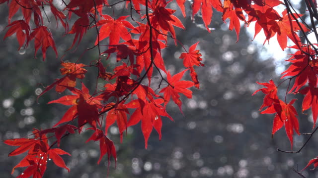 colorful red maple leaves branch tree in Korankei, Aichi, Japan. video