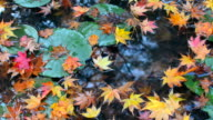 Colorful red, orange, and yellow autumn maple leaves falling into a lily pad pond video