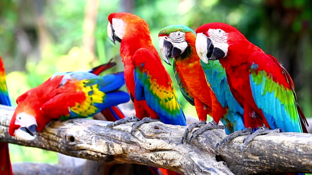 Colorful red parrot macaw video
