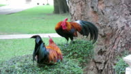 Colorful Rooster video