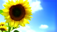 Colorful Sunflowers field and deep blue Sky video