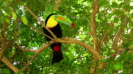 HD: Colorful toucan video