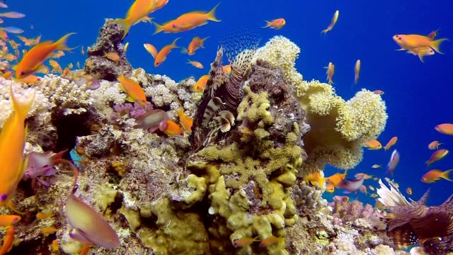 Colorful Tropical Coral Reefs Lionfish video