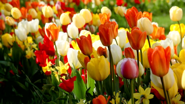 colorful tulips video