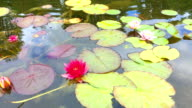 Colorful water liles in a pond video