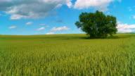 HD CRANE: Colorful Wheat Field video