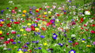 colorful wildflowers on a meadow video