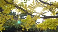 colorful yellow ginko leaves branch tree with blue sky in showa kinen park, Tokyo, Japan video