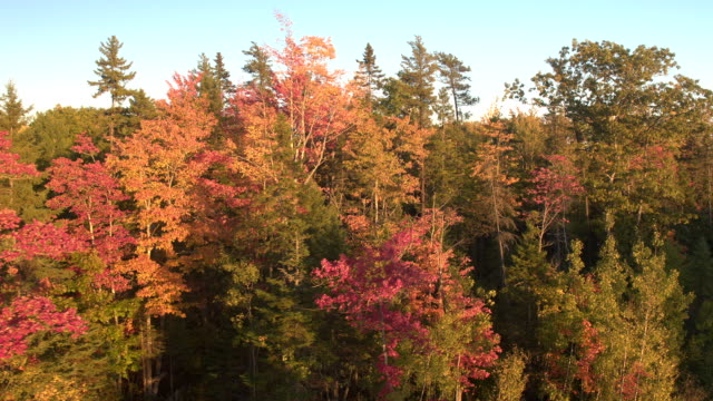 AERIAL: Colorful yellow, orange and red turning leaves in mixed fall woodland video