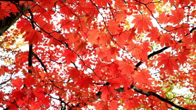 Colorfull autumn tree in nikko japan video