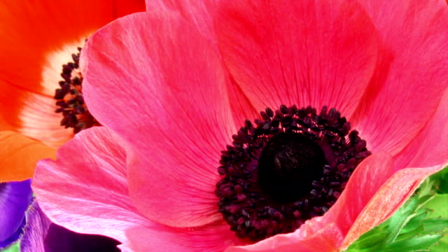 Colorfull poppies blooming HD video