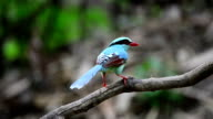 Colourful blue bird cleaning bill video