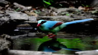 Colourful blue bird drinking water video