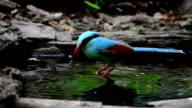 Colourful blue bird taking a bath video