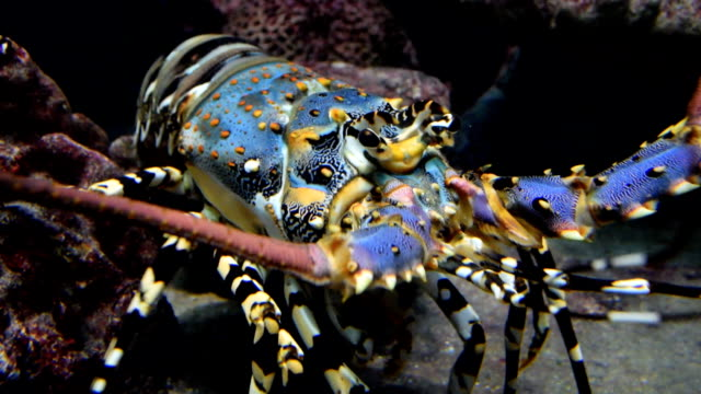 Colourful Iobster under water video