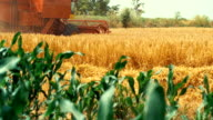 Combine harvester in a wheat field. video