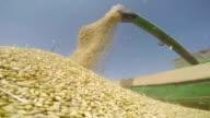 Combine harvesting grain in the field video