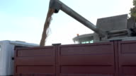 Combine thresher loading cereal corn grain into truck trailer on bright sky background. video