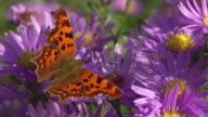 SLOW MOTION: Comma Butterfly video