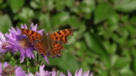 Comma Butterfly video