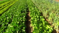 Commercial Vegetable Garden Flyover video
