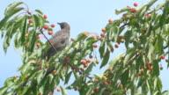 Common Blackbird Eating Cherries video