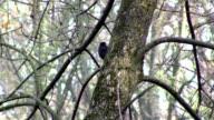 Common blackbird in a tree video