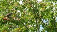 Common Blackbird On The Cherries video