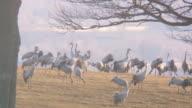 common crane video