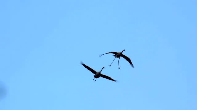 Common Cranes (Grus Grus) flying in the air video