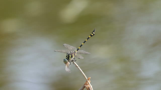Common Flangetail dragonfly eating other insects video