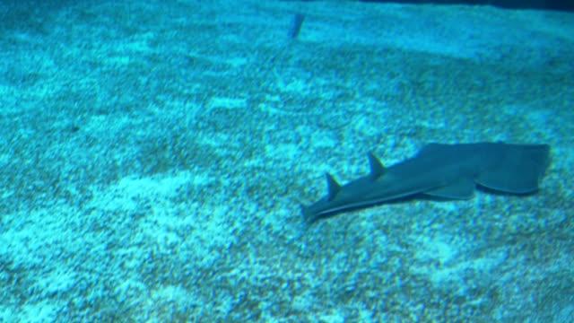 Common Guitarfish video