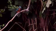 Common Kingfisher sitting on a branch and diving in water video