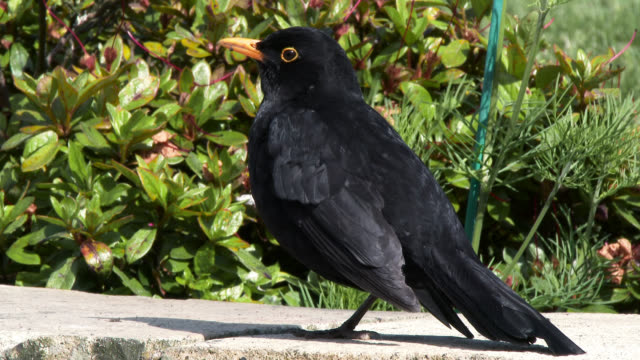 Common male blackbird standing on a wall video