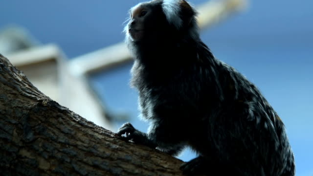 Common marmoset in the zoo video