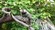 Common marmoset small monkey. video