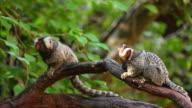 common marmoset. video